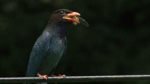 ダーウィンが来た!生きもの新伝説 里山の美しき鳥(1)森の宝石ブッポウソウ 意外な食生活の詳細ページへ