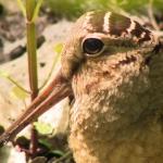 ダーウィンが来た!生きもの新伝説 「ノリノリ!謎のダンサー鳥」の詳細ページへ