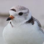 ダーウィンが来た!生きもの新伝説「踊る!浜辺のダンサー鳥」の詳細ページへ
