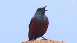 ダーウィンが来た!「街に大進出!青い鳥の謎」の詳細ページへ